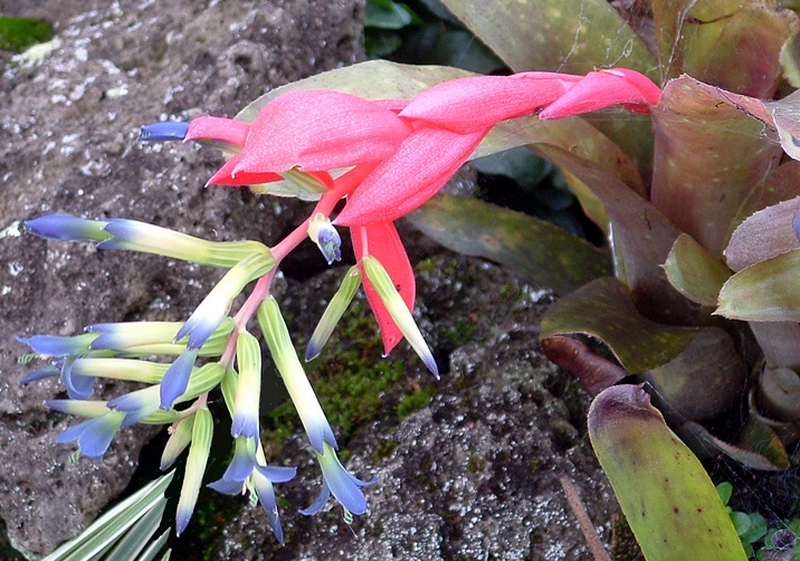 bókoló billbergia