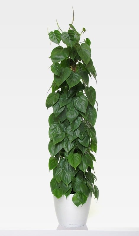 Kúszó-filodendron-Philodendron-scandens