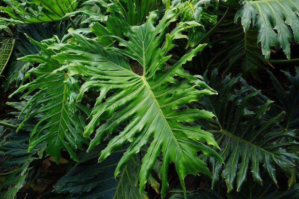szeldeltlevelű filodendron