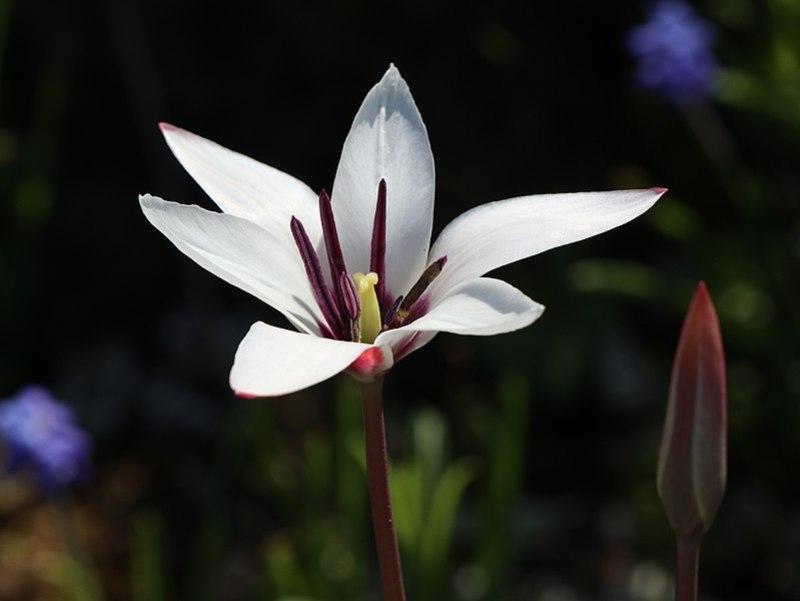 clusius tulipán