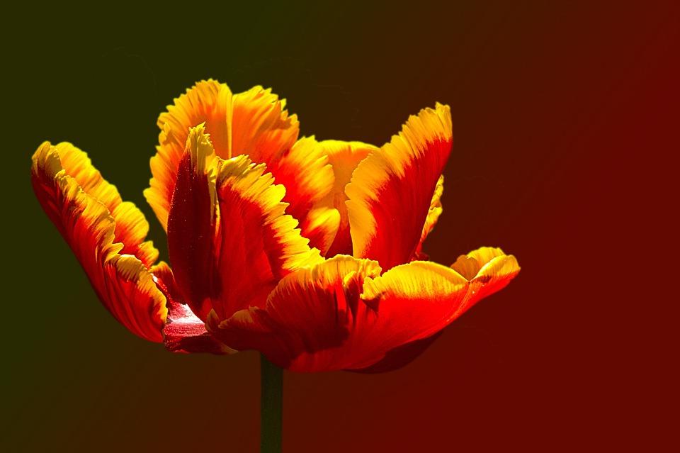 papagáj tulipán